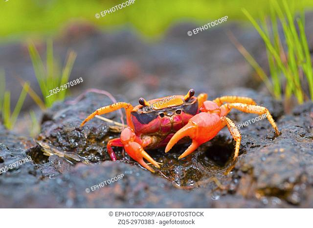 Gubernatoriana thackerayi a newly discovered species of brightly coloured freshwater crabs Satara, Maharashtra, India