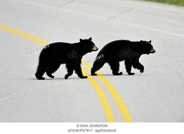 American Black bear (Ursus americanus) cubs crossing park road, Banff National Park, Alberta, Canada