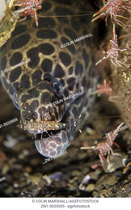Juvenile Blackspotted Moray (Gymnothorax favagineus) with Clear Cleaner Shrimp (Urocaridella antonbrunii) on snout with Dancing Shrimp (Rhynchocinetes...