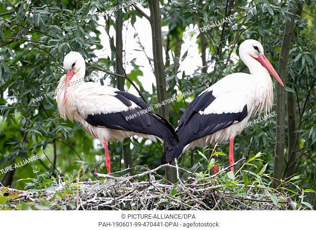 30 May 2019, Schleswig-Holstein, St. Peter Ording: A stork couple stands on their nest on a tree stump next to a parking lot