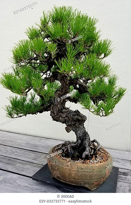 Super Wiring Bonsai Tree Stock Photos And Images Age Fotostock Wiring Digital Resources Funapmognl