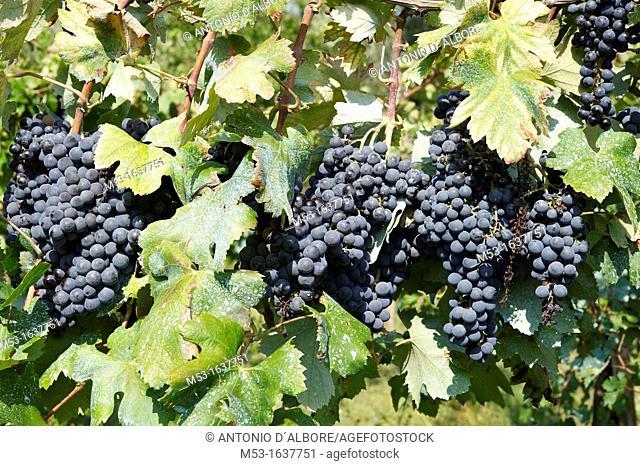 Bunch of ripe black grapes
