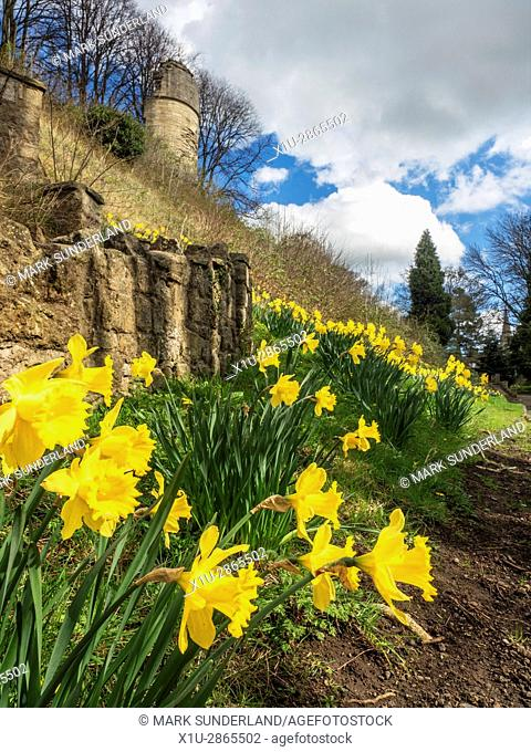 Daffodils in the Moat at Knaresborough Castle Knaresborough North Yorkshire England