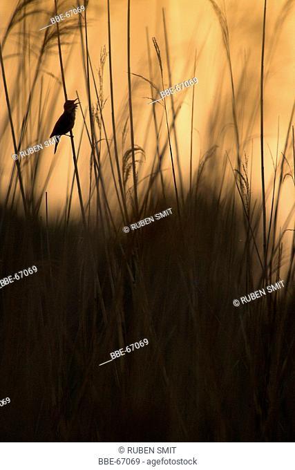 Singing Great Reed Warbler in reed