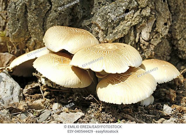 Poplar mushroom. Agrocybe aegerita