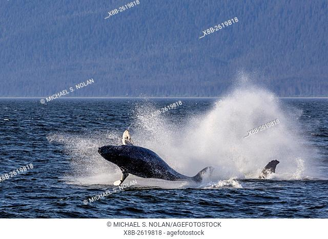 Humpback whale calf, Megaptera novaeangliae, breaching near its mother in Icy Strait, southeast Alaska, USA