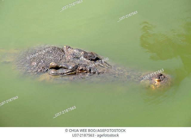 Crocodile at Jong's crocodile Farm, Siburan, Sarawak, Malysia