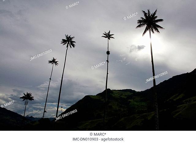 Colombia, Quindio department, Salento, palm trees