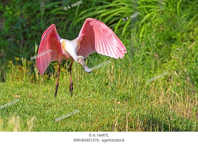 Roseate spoonbill (Ajaia ajaia, Ajaia ajaja, Platalea ajaja), takes off, USA, Florida, Kissimmee