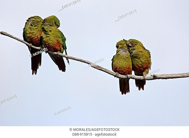 Austral Parakeet, Austral Conure or Emerald Parakeet (Enicognathus ferrugineus). Península de Magallanes, Patagonia, Argentina