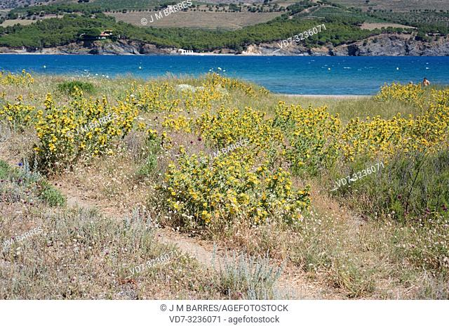 Spanish oyster thistle (Scolymus hispanicus) is a biennial or perennial edible herb native to Mediterranean Basin and Portugal