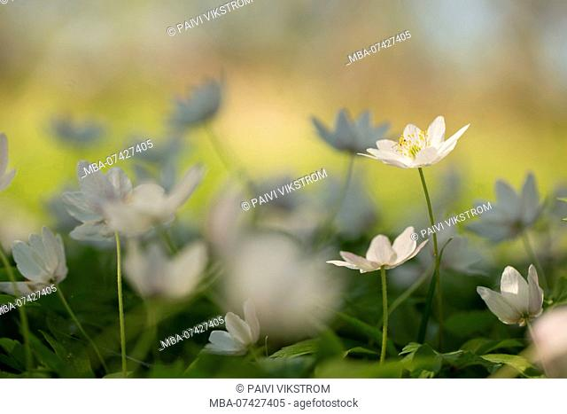 Close-up of wood anemones, Anemone nemorosa, spring scene