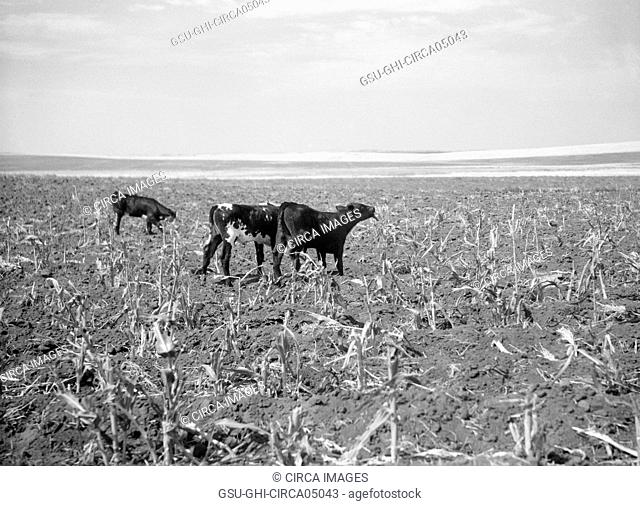 Cattle Turned Loose to Graze in Corn field already Ruined by Drought and Grasshopper Plague, near Carson, North Dakota, USA, Arthur Rothstein
