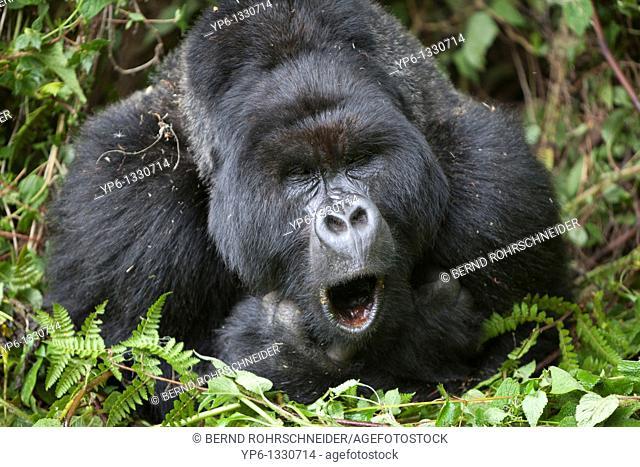 Mountain Gorilla, Gorilla beringei beringei, portrait of a yawning silverback, Volcanoes National Park, Rwanda