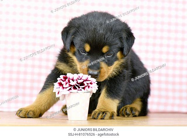 Rottweiler. A puppy (5 weeks old) looking at a dahlia flower. Studio picture. Germany