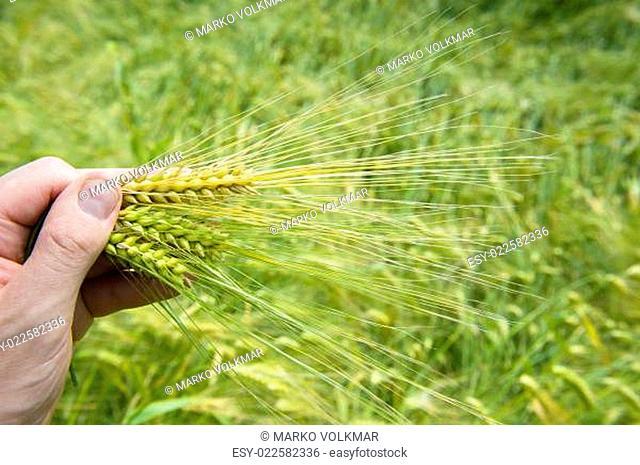 ears of corn in farmers hand