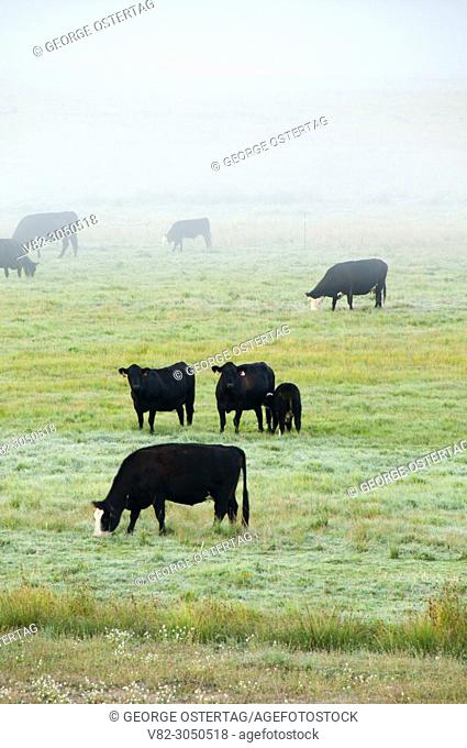 Cattle in Garden Valley, Wildlife Canyon Scenic Byway, Garden Valley, Idaho