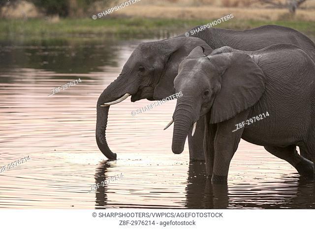 African elephants (Loxodonta africana), Okavango delta, Botswana