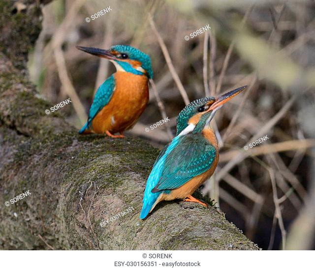 Pair of eurasian kingfisher - common kingfisher - river kingfisher - alcedo atthis - alcedinidae - sitting close together on a branch