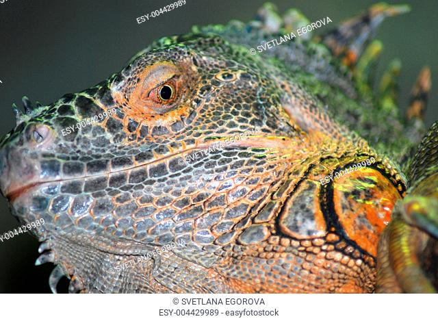 Green horned iguana face close up