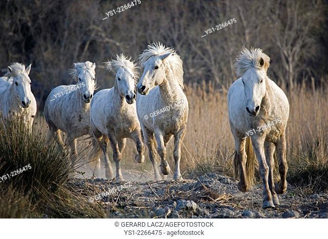 Camargue Horses, Herd, Saintes Marie de la Mer in the South of France