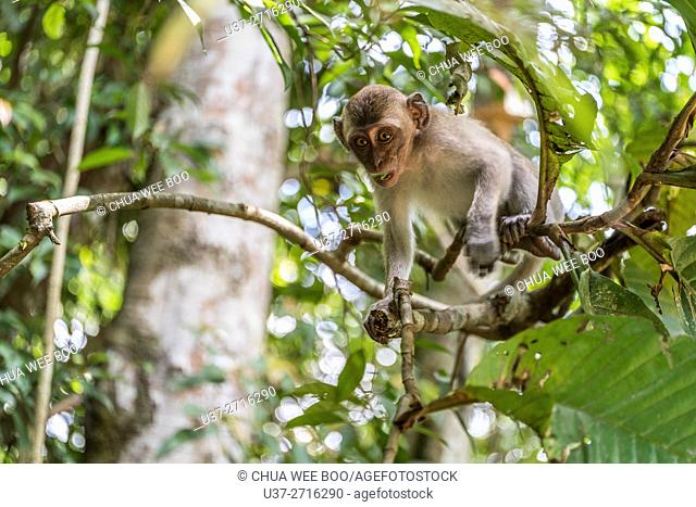 Monkey. Image taken Stutong Forest Reserve Parks, Kuching, Sarawak, Malaysia
