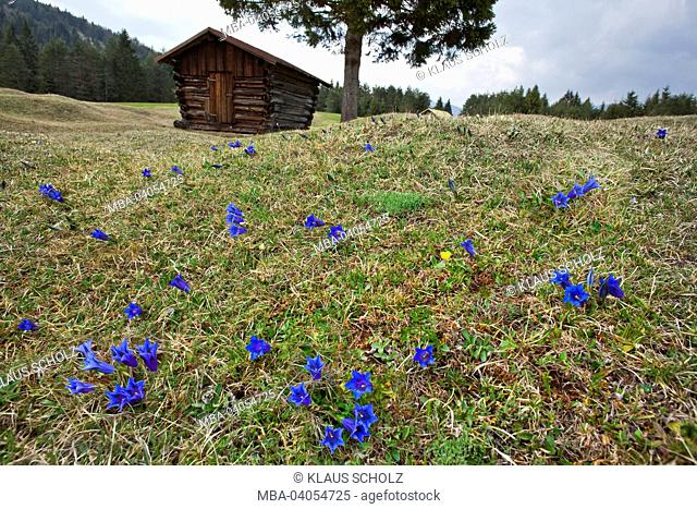 Gentian meadow with hay barn