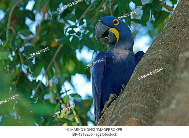 Hyacinth Macaw (Anodorhynchus hyacinthinus) sitting in tree, Pantanal, Mato Grosso, Brazil