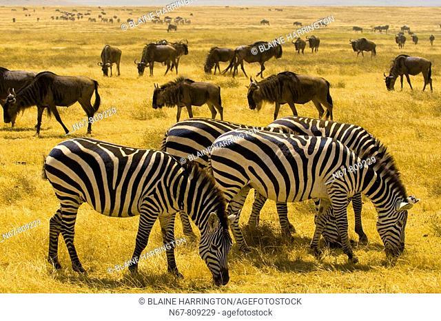 Large numbers of zebra and blue wildebeest gnu, Ngorongoro Crater, Ngorongoro Conservation Area, Tanzania