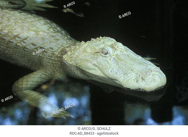 American Alligator albino Alligator mississippiensis