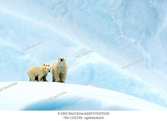 Female polar bear Ursus maritimus and her two cubs on an iceberg off Baffin Island  Nunavut, Canada
