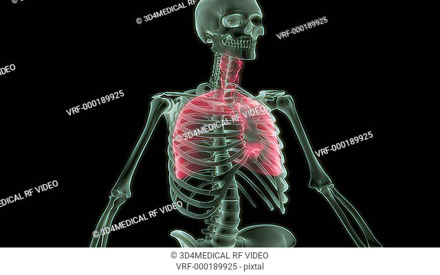 An animation of the respiratory system. The camera zooms in and rotates to show the position of the respiratory system relative to the skeleton and in isolation