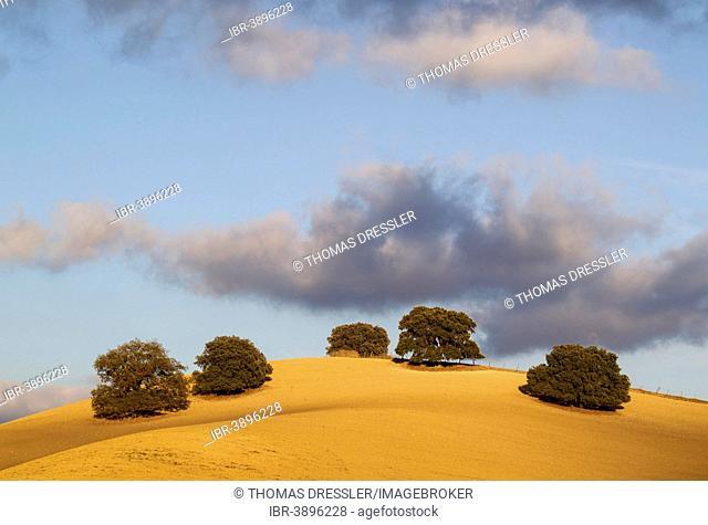 Holm Oaks (Quercus ilex) on a cultivated field, Málaga province, Andalusia, Spain