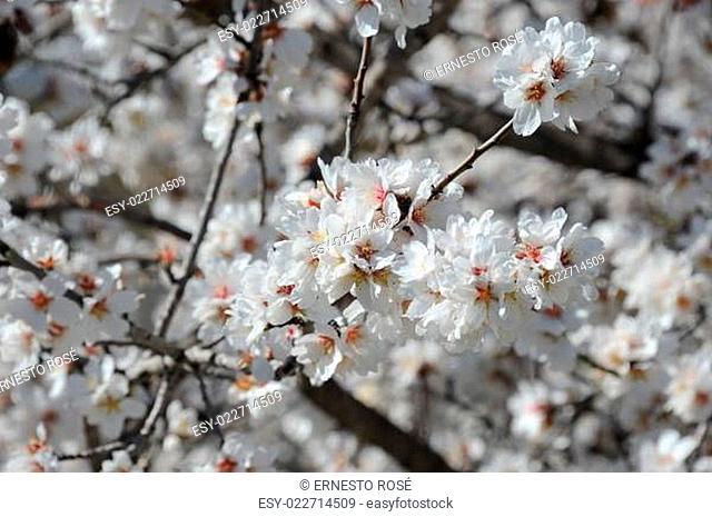 Mandelblüte in Spanien
