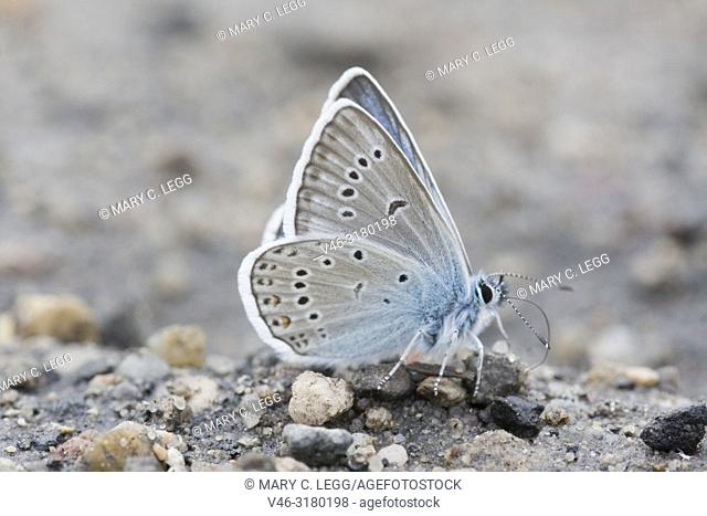 Newly emerged Amanda's Blue, Polyommatus amandus taking salts from the gravel