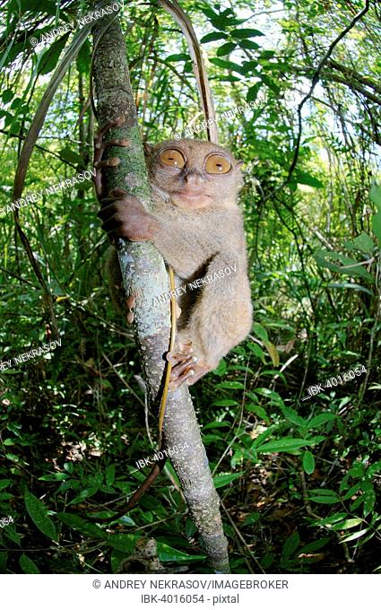 Philippine Tarsier (Carlito syrichta) in a tree, Bohol Island, Southeast Asia, Philippines