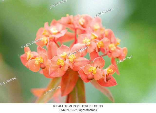Spurge 'Fireglow', Euphorbia griffithii 'Fireglow', orange red coloured flower cluster