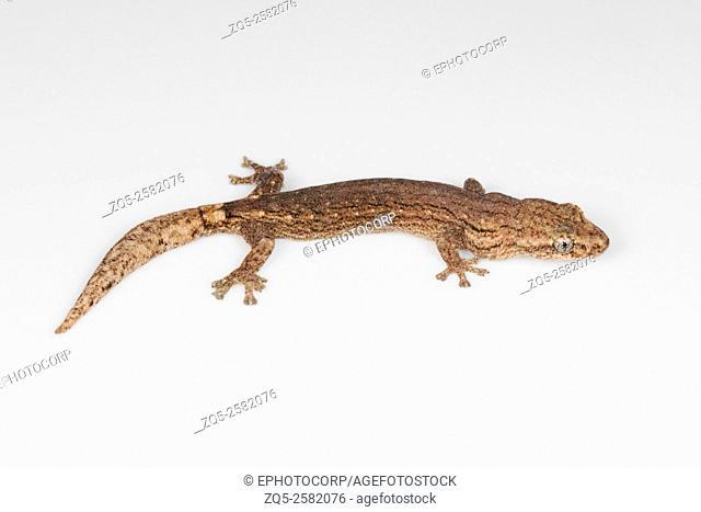 Western worm gecko, Hemiphyllodactylus sp. , NCBS, Bangalore, India