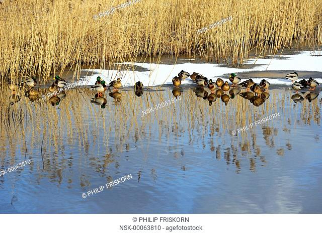A group of Mallards is resting on ice in one of the death riverarms of the river IJssel, The Netherlands, Overijssel, National Landscape IJsseldelta