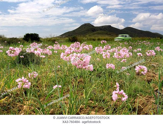 Car crossing flower field. Cabo de Gata-Nijar Biosphere Reserve, Almeria province, Andalucia, Spain