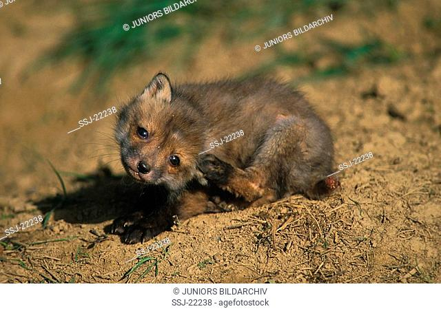 red fox - young , cratching itself - vulpes vulpes