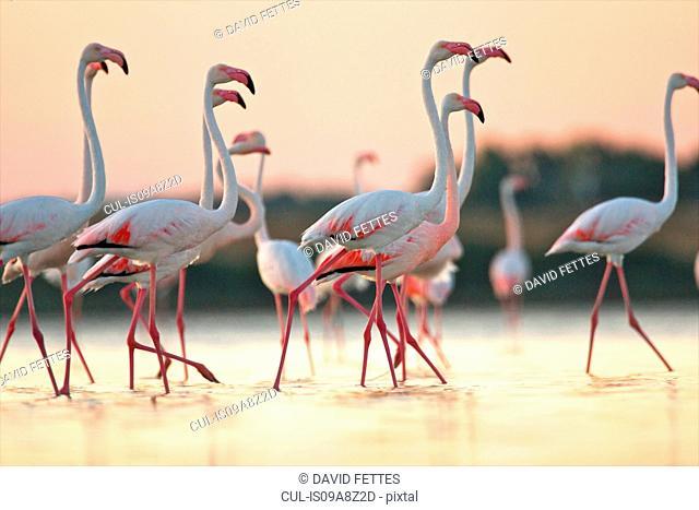Group of flamingos at dawn, Oristano Region in Sardinia, Italy