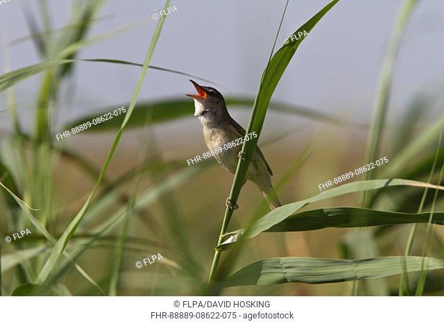 Great Reed Warbler singing - Coto Donana, Spain