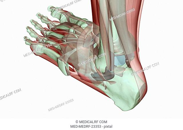 The musculoskeleton of the foot