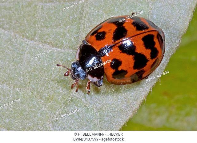 multicoloured Asian beetle (Harmonia axyridis), sitting on a leaf, Germany