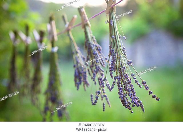 Lavender Bunches Drying In The Sun, Croatia, Dalmatia, Europe