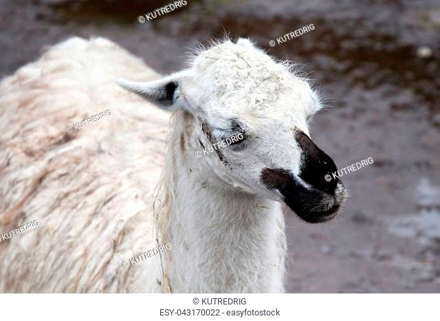 Portrait of a friendly black and white llama in a zoo