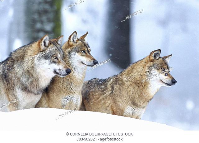 Wolves (Canis lupus), Bayerischer Wald Nationalpark. Bavaria, Germany