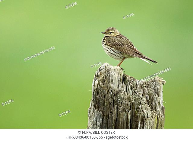 Meadow Pipit (Anthus pratensis) adult, standing on post, Iceland, June