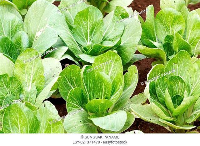 Chinese cabbage plantation